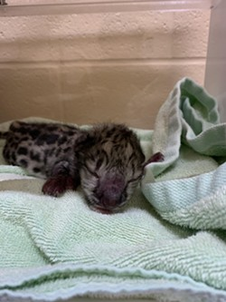 Timila, Seneca Park Zoo's 4-year-old snow leopard, has given birth to one male cub. - PHOTO PROVIDED BY SENECA PARK ZOO
