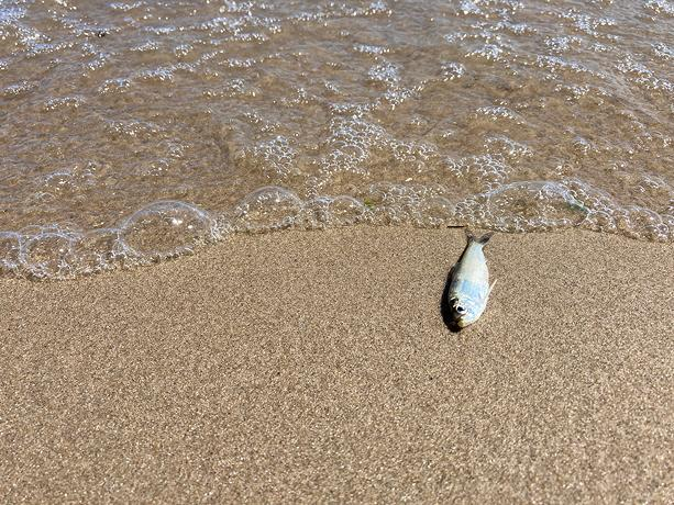 Dead alewives have been washing up on the shores of Lake Ontario, including along Durand Eastman Beach. - PHOTO BY JEREMY MOULE