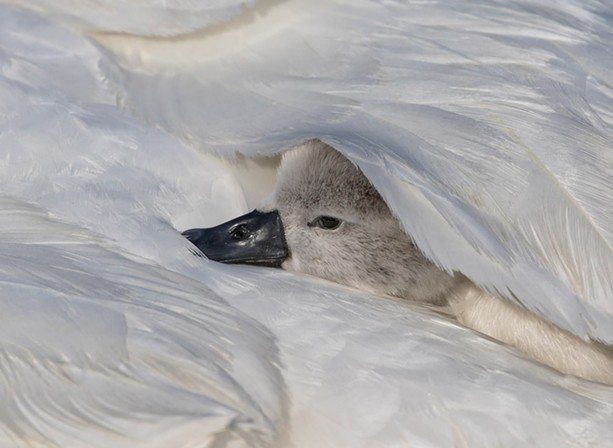 A swan cygnet on the back of its mother. - PHOTO BY AARON WINTERS