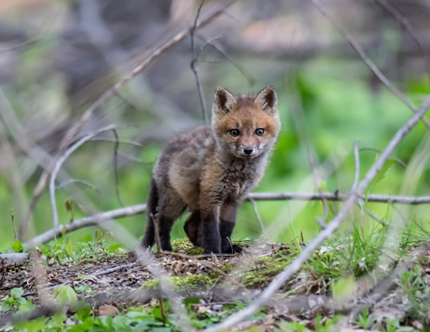 A fox kit in Rush, New York. - PHOTO BY AARON WINTERS