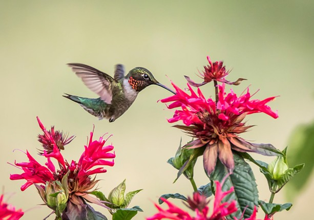 A hummingbird - PHOTO BY AARON WINTERS