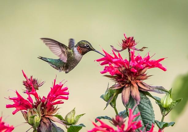 A hummingbird - PHOTO BY AARON WINTERS