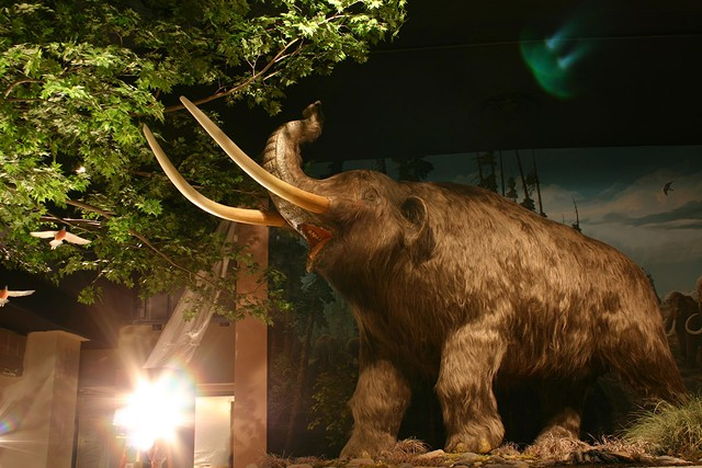 A full-sized replica mastadon in the Expedition Earth exhibit at the Rochester Museum and Science Center.
