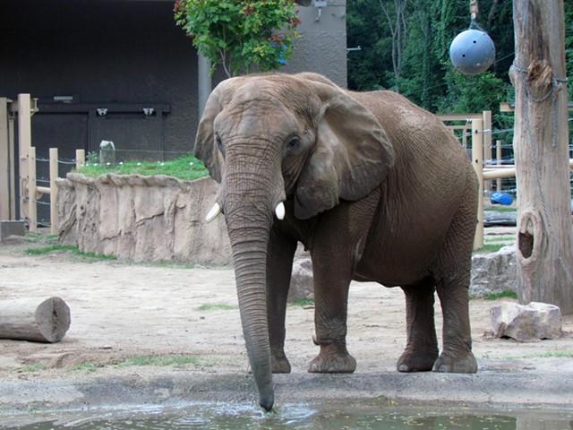 An elephant at Seneca Park Zoo.