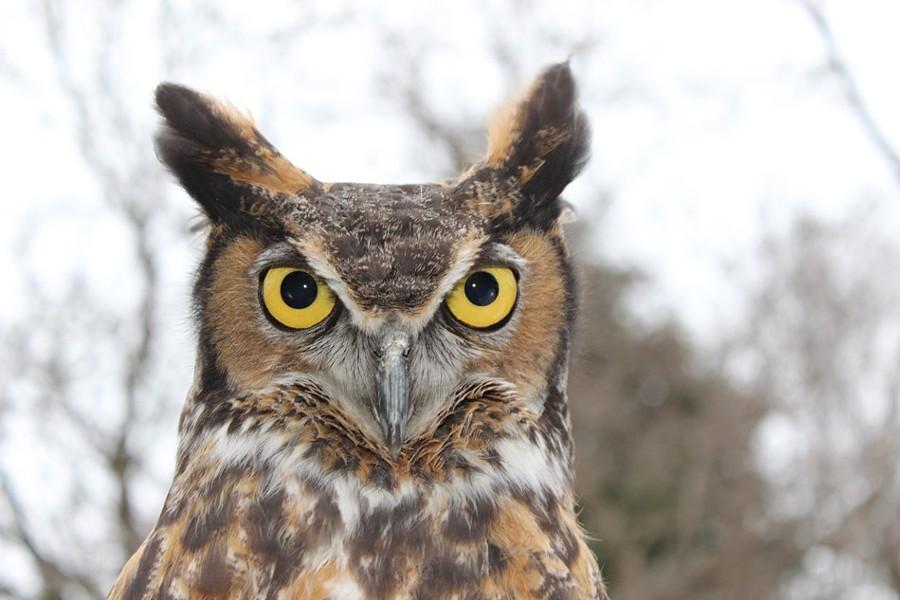 wildwings_gerhard-the-great-horned-owl_photo-provided.jpg