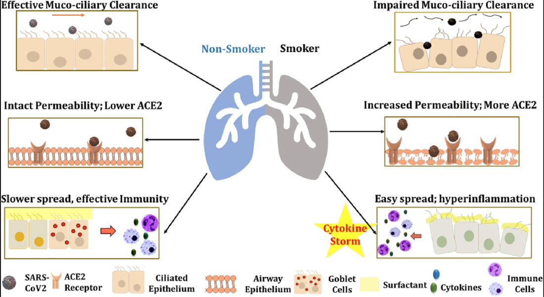 Irfan Rahman, a researcher at the University of Rochester Medical Center, says his studies show people who smoke or vape nicotine have elevated levels of the receptors that allow the novel coronavirus to gain entry to the lungs. - GAGANDEEP KAUR, GIUSEPPE LUNGARELLA AND IRFAN RAHMAN / JOURNAL OF INFLAMMATION