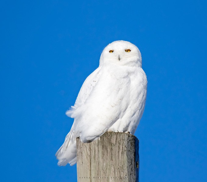 Snowy Owl in Cape Vincent, New York. - PHOTO BY AARON WINTERS