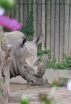 SPECIAL EVENT   Cinco de Rhino