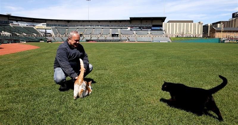 Rochester Red Wings head groundskeeper Gene Buonomo plays with his cats, Loney and Sneezy, in the outfield at Frontier Field. - PHOTO BY MAX SCHULTE