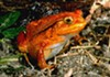 The tomato frog is part of a new RMSC exhibition that explores the vast varieties of frogs.