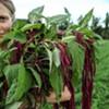 Page-Mann holds a harvest of organic Love Lies Bleeding amaranth.