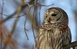 7797dd11_barred_owl.jpg