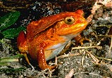 PHOTO COURTESY RMSC - The tomato frog is part of a new RMSC exhibition that explores the vast varieties of frogs.