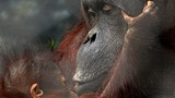 9dc54940_orangutan-2014-marie-kraus-kumang-bella-1-800x448.jpg