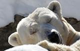7159903a_polar-bear-2014-marie-kraus-aurora-2.jpg