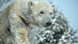 0ff037d3_polar-bear-2014-kelli-obrien-aurora-4-1.jpg