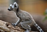 2d5495f3_baby-lemurs-2016-marie-kraus-6.jpg