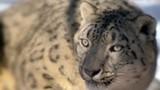 8c4d3996_snow-leopard-2016-paula-e-1-e1503432280255.jpg