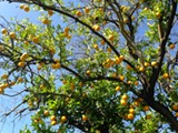 37e9cce2_lemon_tree.jpg