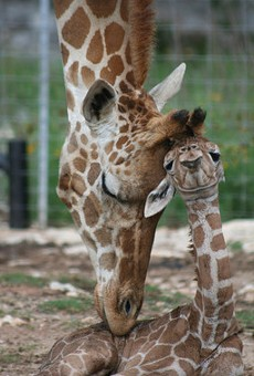 10 Facts About San Antonio's Newborn Twin Giraffes, Wasswa & Nakato