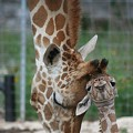 10 Facts About San Antonio's Newborn Twin Giraffes, Wasswa & Nakato