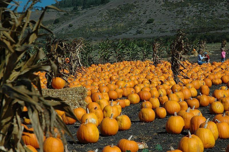 800px-pumpkin-patchjpg
