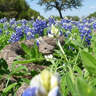 A Plea to Stop Staging Roadside Bluebonnet Photo Shoots