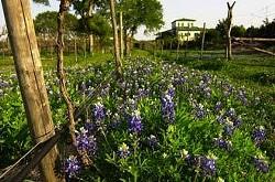 Bluebonnets dot the landscape at the Vineyards.