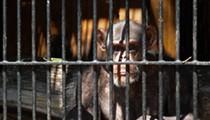 Chimpanzees gaining new protections that may further limit medical use at SA lab