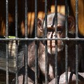 Chimpanzees gaining new protections that may further limit medical use at SA lab