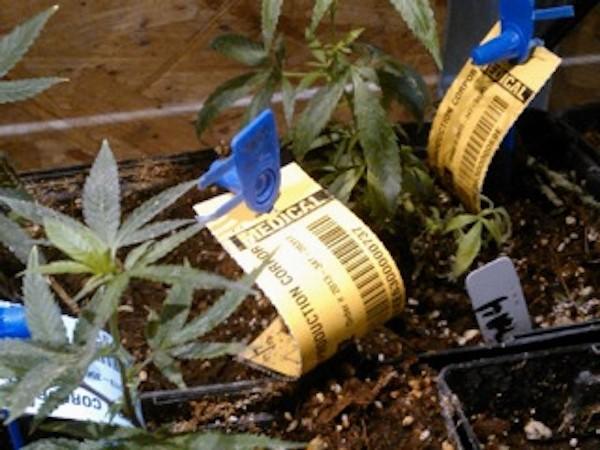 marijuana-policy-3---heather-fazio---marijuana-policy-projectjpg