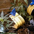 Do Medical Pot Laws Curb Fatal Opiate Overdoses?