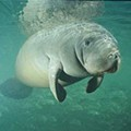 Food & Drink Could you love this manatee?