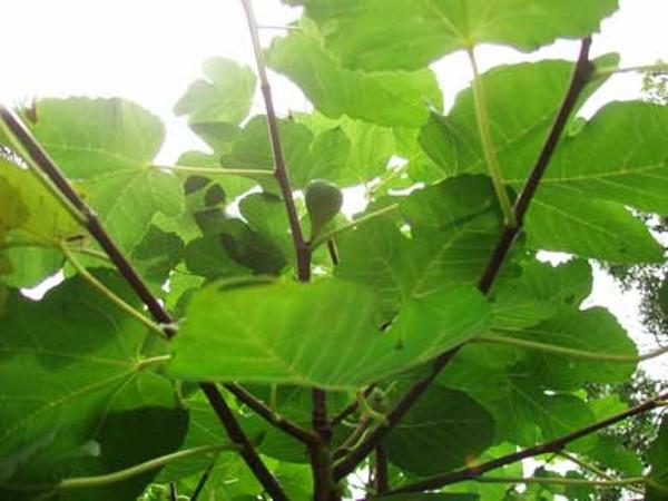 food-figs1_420jpg