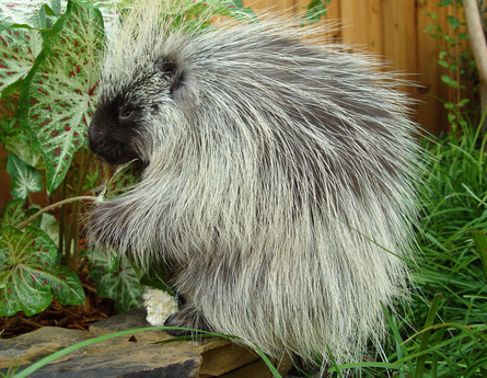 Teddy Bear the Porcupine - ZOONIVERSITY