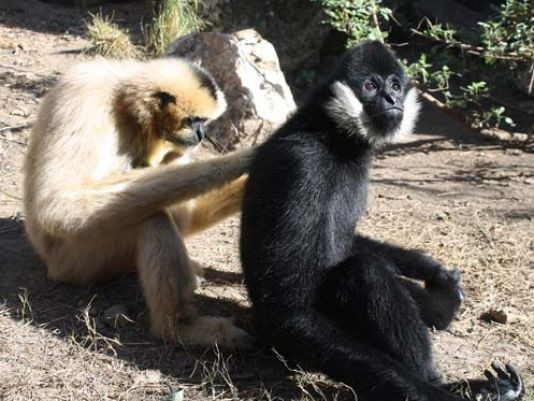 Mel and his girlfriend, Maya the gibbon - PHOTO COURTESY OF THE SAN ANTONIO ZOO