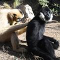 SA Zoo's Mel the Gibbon Turns Sweet 16