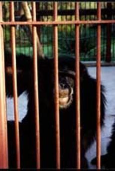 News : The great ape debacle