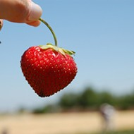 Picking Strawberries Equals A Berry Good Time