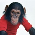 'Project Nim': Part-human, part-chimp
