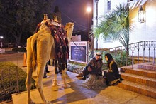 ST. JOHN'S LUTHERAN CHURCH - San Antonio's only live, interactive and bilingual Nativity features many animals, including this camel.