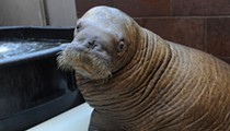 SeaWorld Takes In An Orphaned Baby Walrus