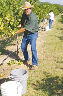 The Pedernales Cellars crew starts harvesting a pinot blanc crop.