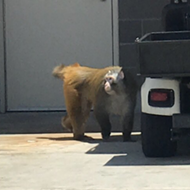 Baboon Escapes Crate, Runs Around San Antonio Airport