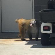 Baboon Escapes Crate, Runs Around San Antonio Airport