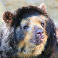 San Antonio Zoo Puts Down 28-Year-Old Spectacled Bear