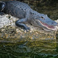 San Antonio Man Comes Face to Face with Alligator on the East Side