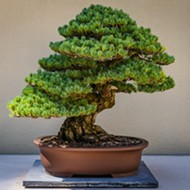 San Antonio Botanical Garden celebrates timeless tradition of bonsai this weekend