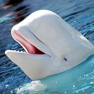2-year-old Beluga Whale Dies at SeaWorld San Antonio