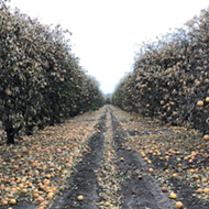 Texas citrus industry sees at least $230 million in losses due to February's winter storm